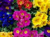 Primule colorate