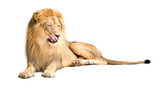 Hungry Lion Licking Lips