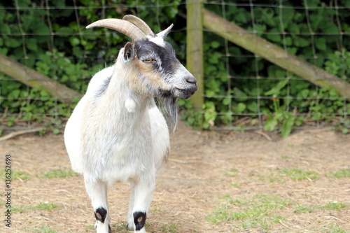 A white farm goat looking to the right Poster