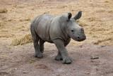Jeune rhinocéros blanc