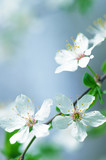 white cherry tree flower in spring