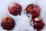 beautiful composition: red rosy apples in the snow, winter, food, product, still life