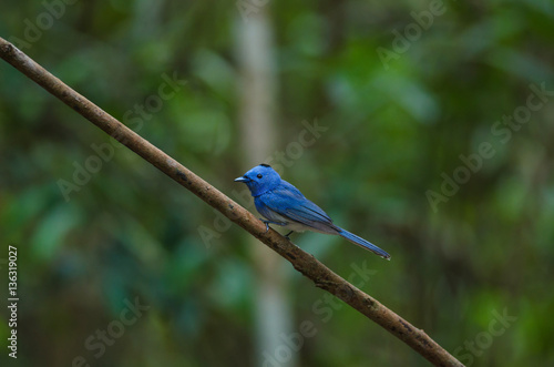 Poster Black-naped Monarch in nature