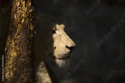 Fotobehang Leeuw Image of a female lion on nature background. Wild Animals.