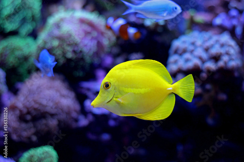 Zebrasoma Yellow Tang Poster