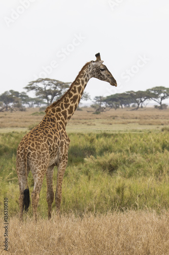 giraffe standing on the shore of a small pond on the background