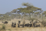 small herd of wildebeest having a rest under an acacia tree in t