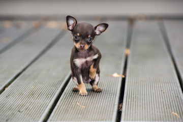 adorable tiny brown puppy posing outdoors