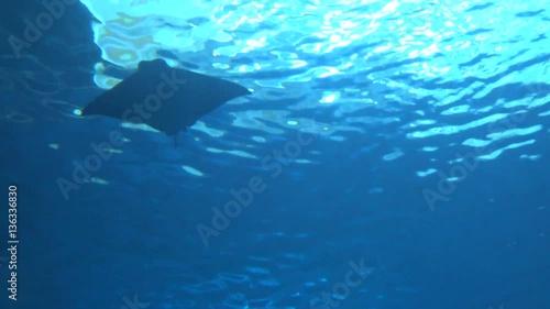 Tuinposter Koraalriffen 4k, view of underwater Giant manta ray, Silhouettes Manta birostris suimming -Dan