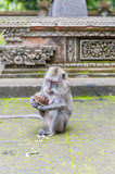 Indonesia, Bali, Balinese long-tailed monkey macaque at Ubud monkey sanctuary
