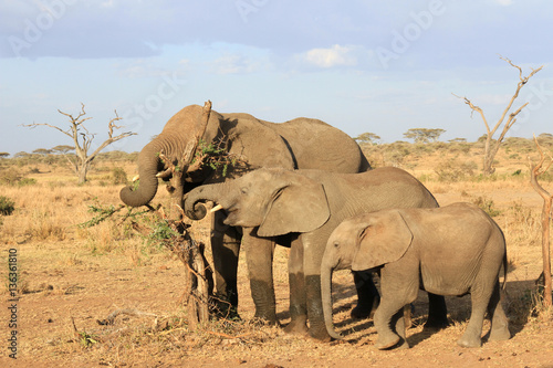 Poster Три слона разного возраста выстроились для поедания куста акации в саванне