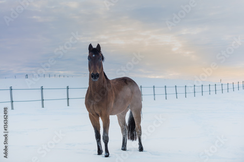 Rassepferd Westfale steht auf schneebedeckter Koppel