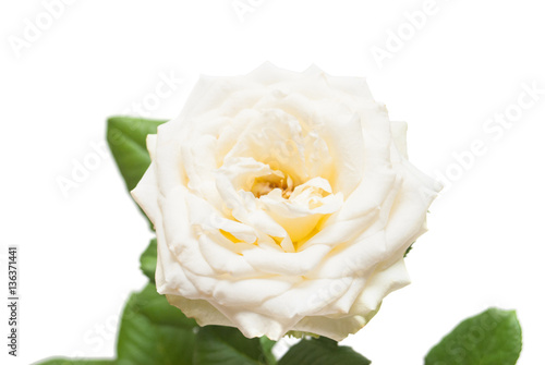 Staande foto Roses Beautiful flower pink rose isolated on white background. Wedding