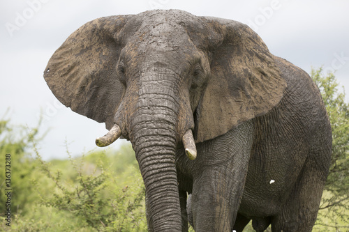 Poster Portrait of wild free roaming african elephant