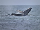 Humpback Whales splashing in Ocean Waters