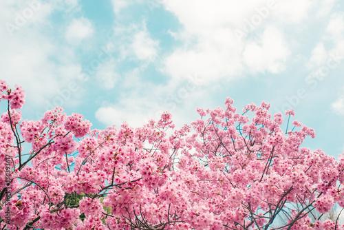 Fototapeta Beautiful cherry blossom sakura in spring time over blue sky.