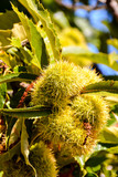 detail of ripe chestnuts