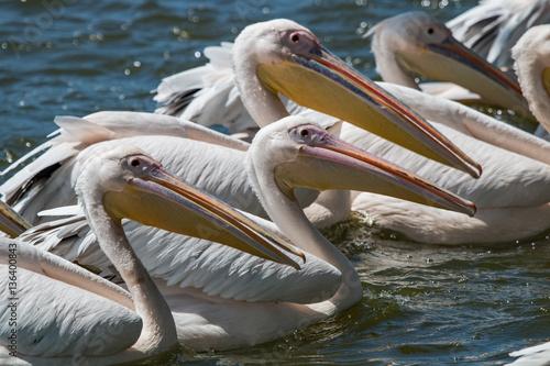Poster Groupe de pélican blanc sur un lac