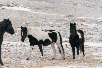 Horses in the snow-covered steppe.