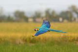 flying macaw, beautiful bird