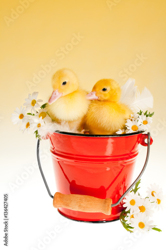 Poster Two easter ducklings in a bucket