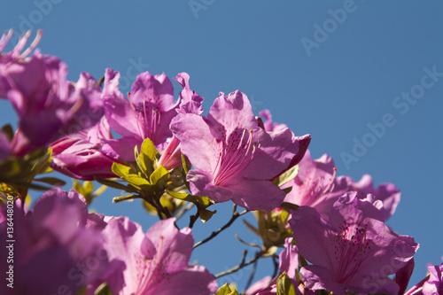 Papiers peints Azalea Azalea viola / Purple azalea