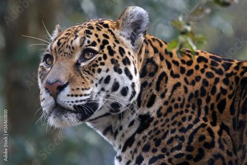 jaguar,-portret