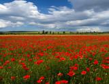 poppy field against the sky