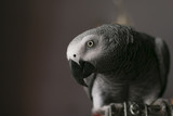 african grey curious close up