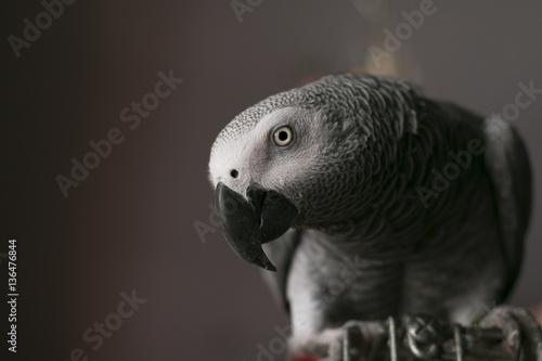african grey curious close up