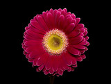 Pink gerbera flower on black background