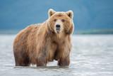 Bear attacks fish salmon