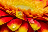 Macro of water drops on a red and yellow gerber