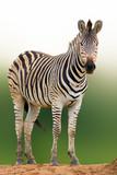 Zebra portrait from a low angle, Kruger National Park. Equus quagga