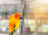 Close up sun conure (Aratinga solstitialis) climbing in the cage .selective focus