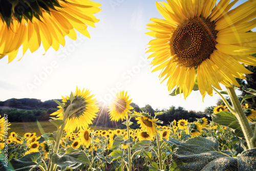 yellow sunflowers close-up in a sunny day