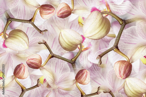 Naklejka white-violet-pink Buds orchid. background of flowers orchids. Flower composition. a collage of motley brindle flowers. Nature.