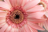 Gerbera flower with soft-focus in the background and over light