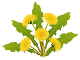Dandelion flower with leaf isolated on white background for spring design