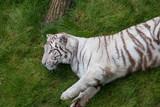 Tigre blanc se prélassant dans l'herbe