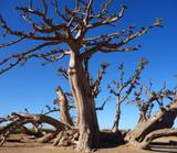 Un baobab dans la savane africaine
