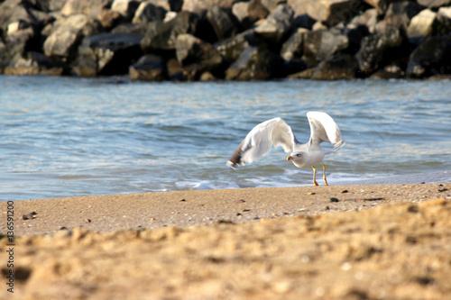 Poster gull flies from the sandy beach