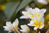 Close up Plumeria, blurred background