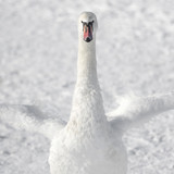 white swan on white snow
