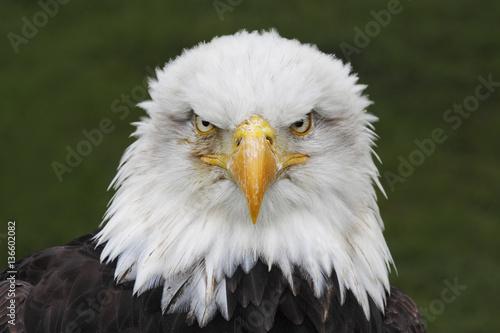 Aluminium Eagle Bald Eagle (Haliaeetus leucocephalus) head portrait