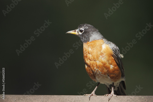 Poster American robin (Turdus migratorius) on fence, Edwin B