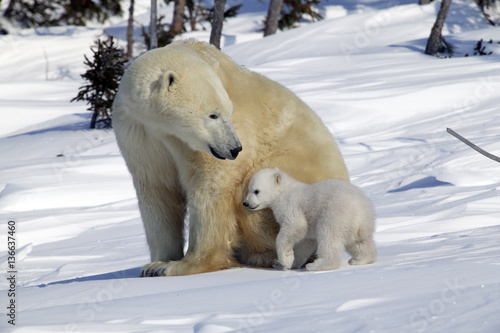 Fotobehang Ijsbeer Ursus maritimus / Ours blanc / Ours polaire