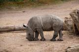 Petit rhinocéros blanc