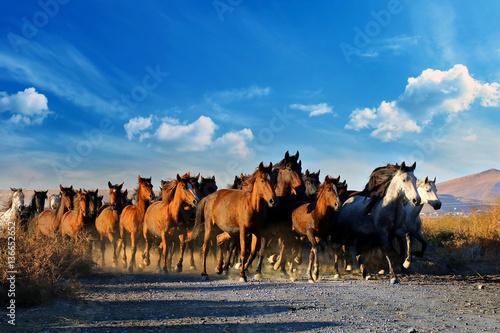 Galloping horses at the nature. Horses running.