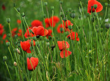 Poppy field with red flower petals